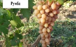 Виноград румба описание сорта