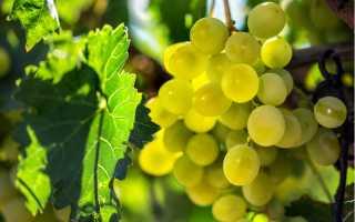 Виноград Гарольд — описание сорта с фото, отзывы, правильный уход