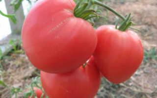Томат Бычье сердце — характеристика, описание сорта и его выращивание
