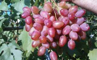 Виноград ранний розовый описание сортов