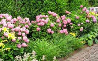 Что посадить рядом с гортензией метельчатой в цветнике сочетание древовидной фото в саду