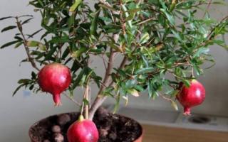 Комнатный гранат Бейби уход в домашних условиях выращивание из семян