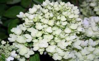 Гортензия Бомбшелл метельчатая: описание сорта, посадка и уход