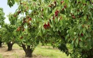 Черешня дерево как вырастить на даче из веточки из черенка