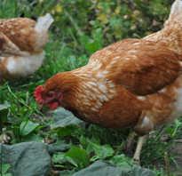 Подкормка винограда весной куриным пометом приготовление удобрения