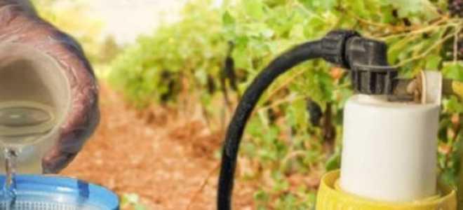Опрыскивание винограда серой коллоидной для предотвращения болезней