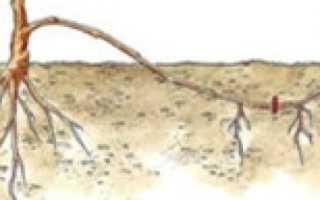 Размножение винограда отводками весной
