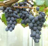 Виноград блек гранд описание сорта особенности выращивани