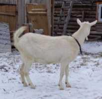 Беременность козы как определить время признаки