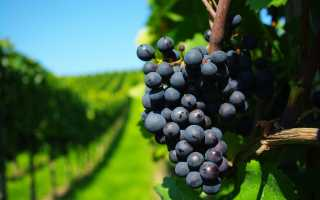 Подкормка винограда весной мочевиной инструкция по применению