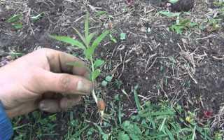 Как вырастить нектарин в домашних условиях из косточки в горшке посадка