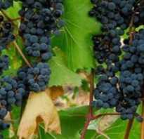 Виноград в сибири для начинающих посадка и выращивание