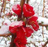 Айва японская Хеномелес кустарник плоды описание