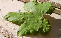 Болезнь винограда на листьях пупырышки бугорки чем лечить