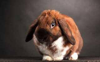 Карликовый вислоухий кролик описание содержание