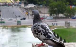 Почтовые спортивные голуби скорость как знают куда лететь