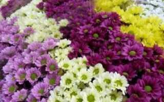 Сорта и виды хризантем цветов какие бывают классификация раннецветущие