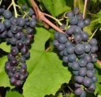 Виноград Денисовский, описание сорта виноград Денисовский