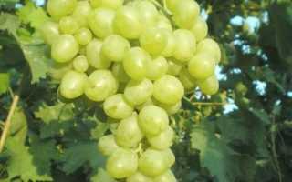 Сорт винограда венгерский кишмиш