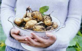 Картофель Беллароза характеристика и описание сорта особенности посадки выращивания и ухода вкусовые качества