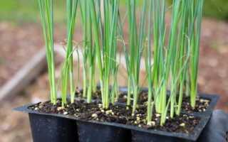 Лук порей выращивание и уход в домашних условиях