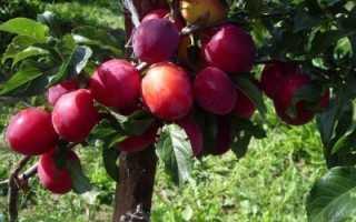 Слива Амурская роза описание сорта