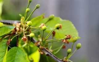 Почему вишня сбрасывает опадают завязи ягоды плоды что делать