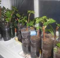 Виноград из черенка на подоконнике особенности выращивания