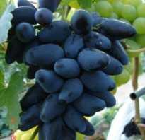 Виноград Викинг (Загорулько В.В.) — описание и фото сорта
