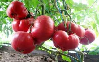 Томат Розовый мед описание и характеристика сорта урожайность рекомендации по выращиванию созревание плодов