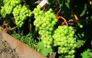 Виноград Шасла описание сорта