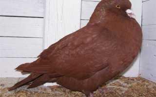 Породы голубей с фотографиями и названиями