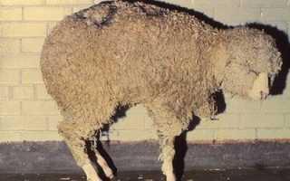 Болезни ягнят, овец — симптомы, лечение и профилактика