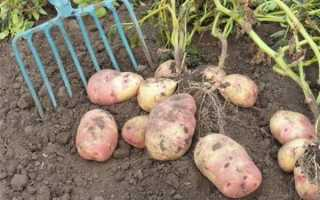 Глубина посадки картофеля в черноземье на какую глубину сажать