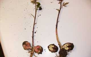 Как размножается грецкий орех микроклональное размножение летняя окулировка