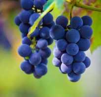 Почему сохнут ягоды винограда? Ягоды винограда чернеют: причины и пути решения проблемы
