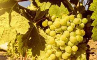 Виноград подарок магарача описание сорта