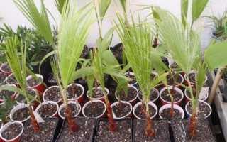 Как размножить взять отросток пальмы