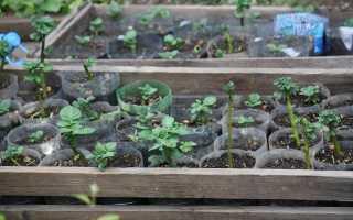 Посадка раннего картофеля посев сроки