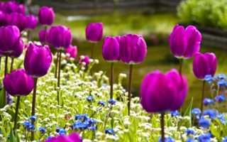 Что посадить между тюльпанами на клумбе с какими цветами сажать тюльпаны по соседству