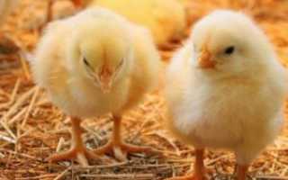 Понос у цыплят бройлеров: как лечить в домашних условиях