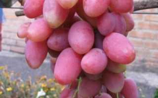 Сорт винограда роза дамская белая красная — описание сортов