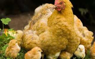 Почему у кур выпадают перья на спине шее