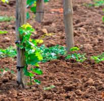 Борная кислота для винограда опрыскивание подкормка