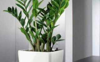 Желтеют листья у замиокулькаса в домашних условиях: 10 самых распространенных причин как спасти комнатный цветок