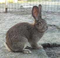 Кролики Фландр: подробное описание породы