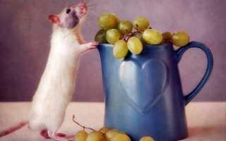 Как уберечь виноград от мышей? Как защитить виноград от мышей зимой: средства, видео и фото.