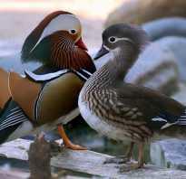 Утка мандаринка — самая яркая и красивая утка на земле