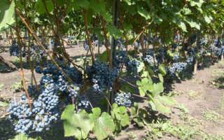 Виноград экспресс ранний описание сорта