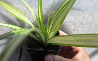 Панданус уход в домашних условиях Пальма панданус из отростка и семян Фото видов